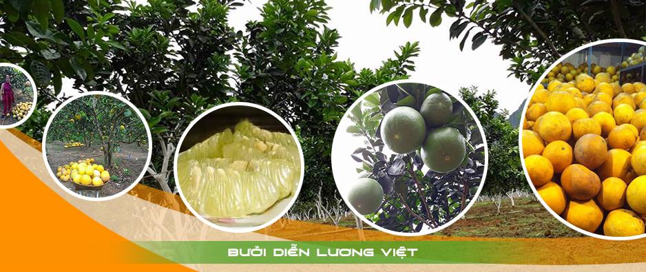 Bưởi diễn Lương Việt