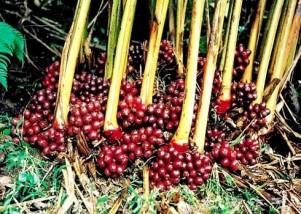 Cây giống thảo quả đỏ